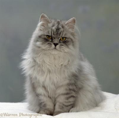 Окрасы Персидских кошек