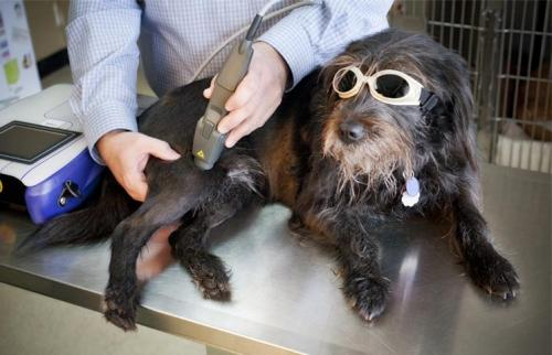 Терапевтические лазер для животных