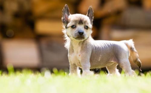 особенности китайских хохлатых собак