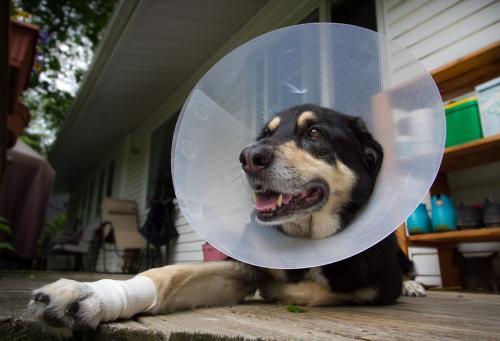 5 этапов послеоперационного ухода за кошками и собаками