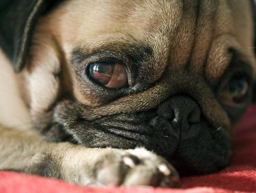 Судороги и приступы эпилепсии у собак