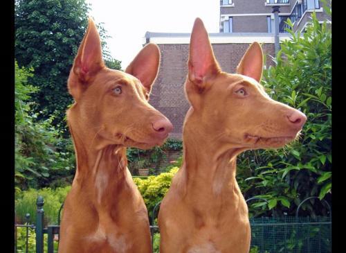 Характер фараоновой собаки