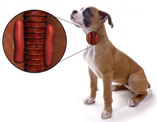 Гипотиреоз у собак