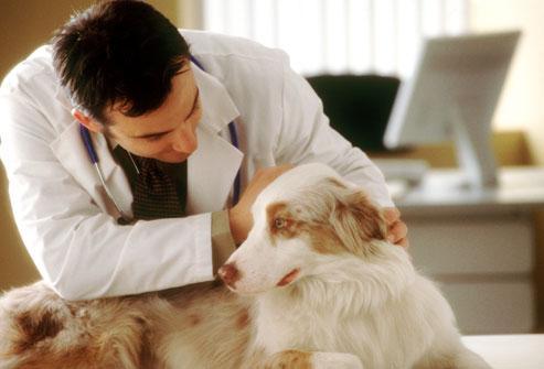 Колит у собак - клинические симптомы и лечение