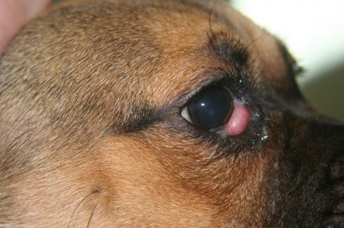 Воспаление (пролапс) третьего века у собак: признаки и симптомы
