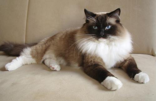 Порода кошек рэгдолл - описание, характер и здоровье