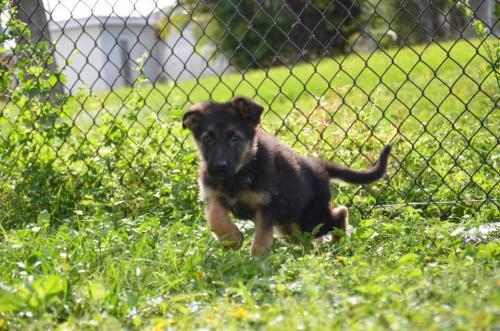 Фото щенка немецкой овчарки в 2 месяца