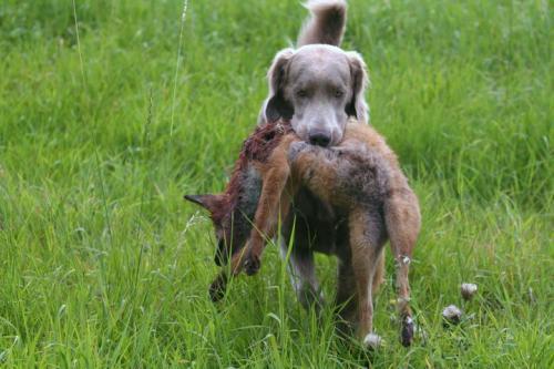 Породы собак для охоты на лис и птицу