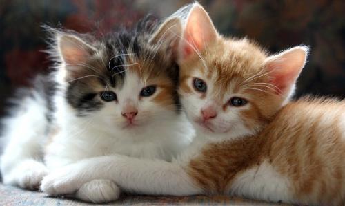 Как содержать две кошки в квартире