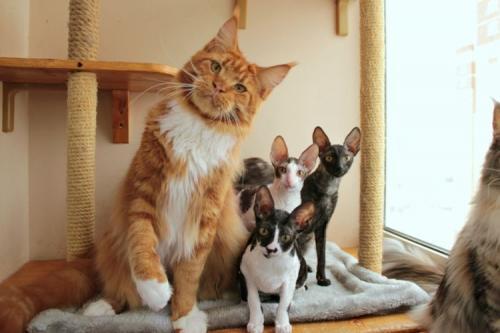 большая кошка мейн