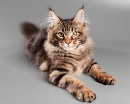 фото кота мейн куна
