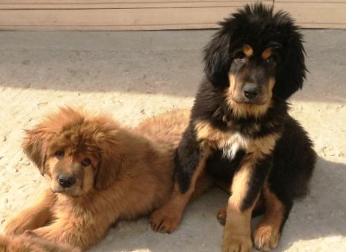 Фото щенков тибетского мастифа
