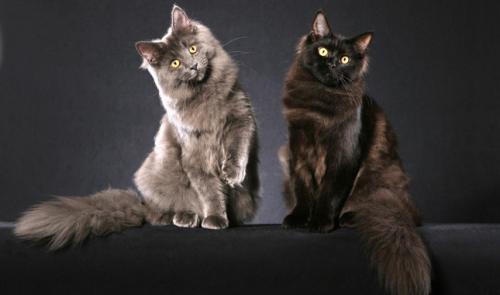 2 кошки Мейн-кун