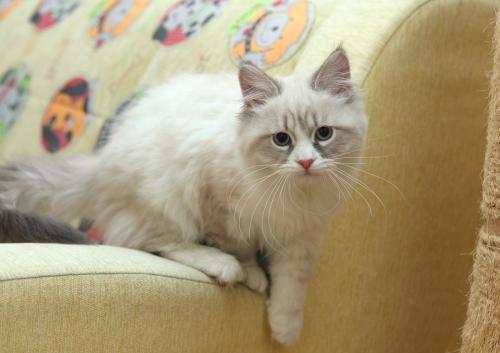 Фото котенка Невской маскарадной кошки в 1-6 месяце
