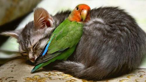 Попугай и кошка в одном доме