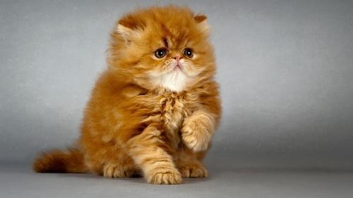 Клички для персидских кошек