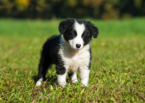 фото щенка бордер-колли