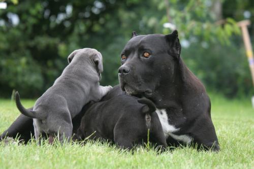 фото щенков корсо 2