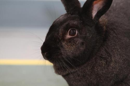 Эймерии и другие кокцидиальные организмы могут заразить кроликов болезнью под названием кокцидиоз, особенно молодых и не окрепших. Эти организмы живут в кишечнике кроликов, но также могут инфицировать их печень.  Тяжесть кокцидиоза зависит от вида эймерий (кокцидий), иммунной системы, возраста, а также окружающей экологии кролика.  Как кролик заражается кокцидиозом?  Кролики могут заражаться кокцидиозом через еду или контакт с фекалиями другого кролика, в которых могли находиться цисты кокцидий. У кокцидий