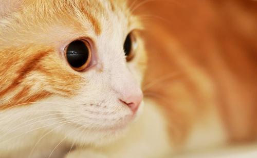 рагамаффин - фото кошек