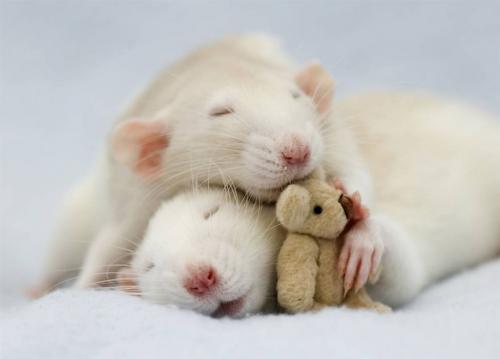 Клички для крыс и мышей: мальчиков и девочек