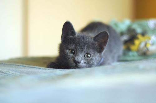 Клички для русской голубой кошки и кота