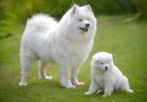 Фото щенка самоеда (самоедской лайки)