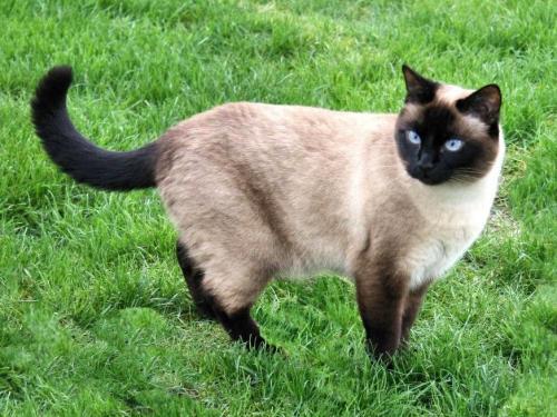 сиамская кошка виды