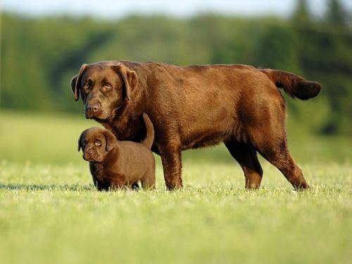 лабрадор щенок шоколадный