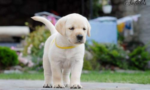 лабрадор щенок белый