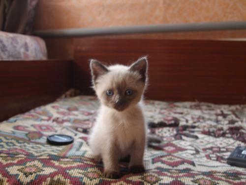 Фото сиамского котенка
