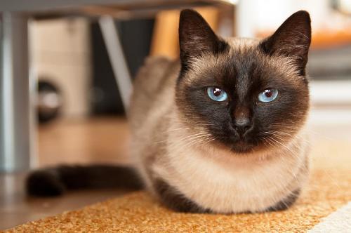 Сколько живут сиамские кошки