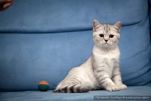 Шотландский котенок в 3 месяца фото