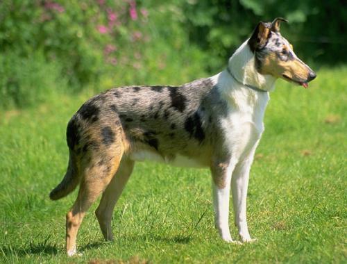 Британские породы собак
