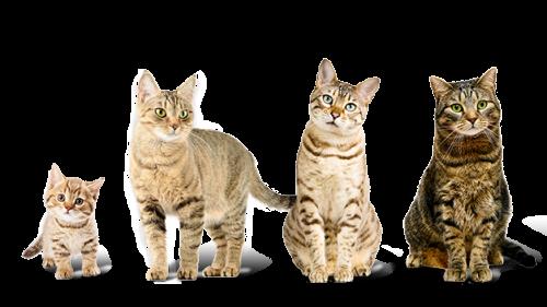 Возраст кошки и кота по человеческим меркам - таблица, соотношение ...
