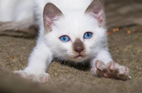 Клички и имена для тайских кошек
