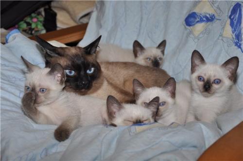 Фото тайского котенка