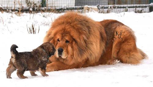 Тибетский мастиф и щенок