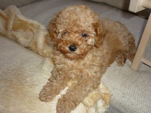 Фото щенка Той-пуделя