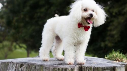 Белый той пудель - фото собаки