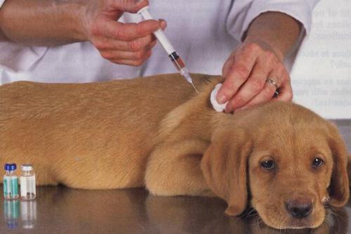 Важность вакцинации вашей собаки