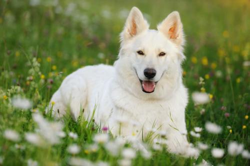 Фото щенков белой немецкой овчарки