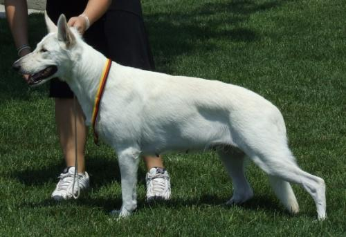 Фото белой немецкой овчарки