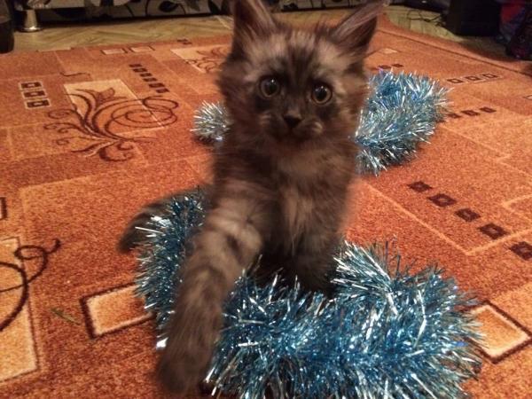 Имена кошек английских пород thumbnail