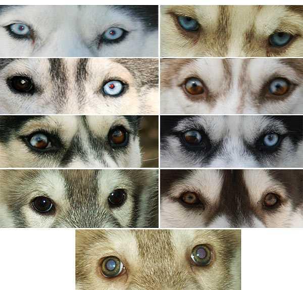 Хаски с черными глазами фото