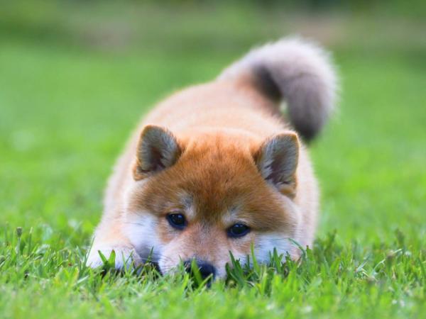 Японские имена для собак мальчиков
