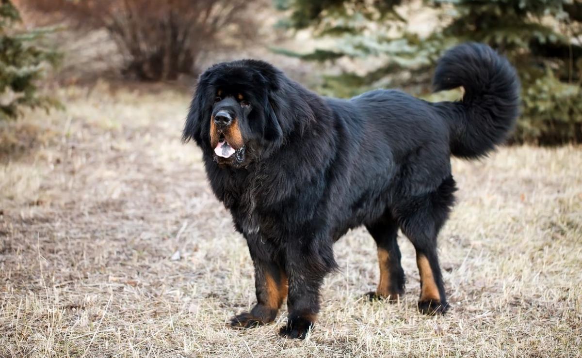 взрослые собаки тибетские мастифы