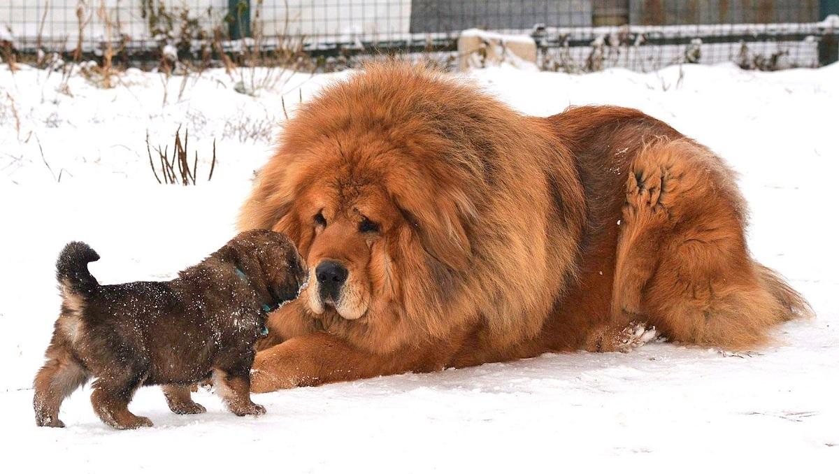 тибетский мастиф порода щенков