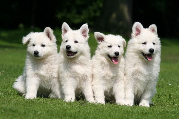 Белая швейцарская овчарка - щенки