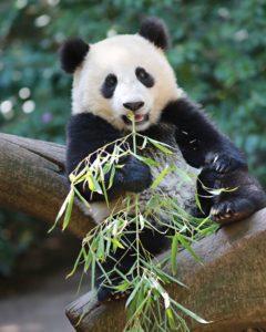 350+ красивых имен для панд